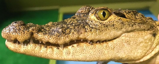 Alligator Attraction in Florida earns Certified Autism Center™ Designation