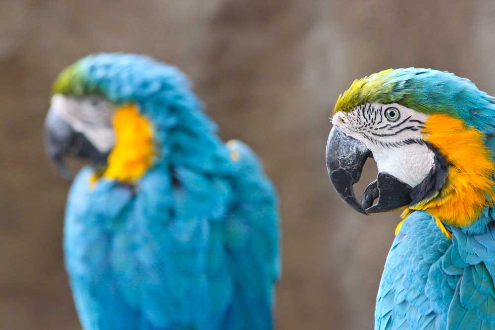 Santa Barbara Macaws